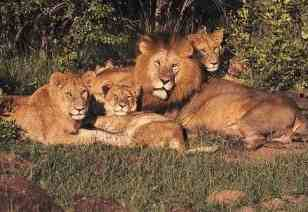 familia-de-leones